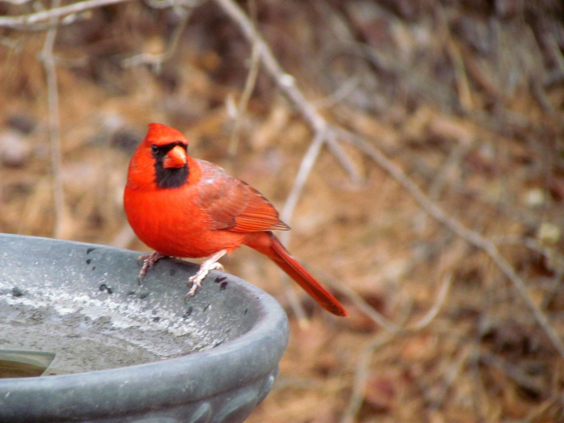 Bird-Cardinal_At_Bath-s.jpg