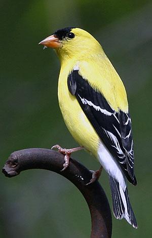 GoldfinchAmerican.jpg