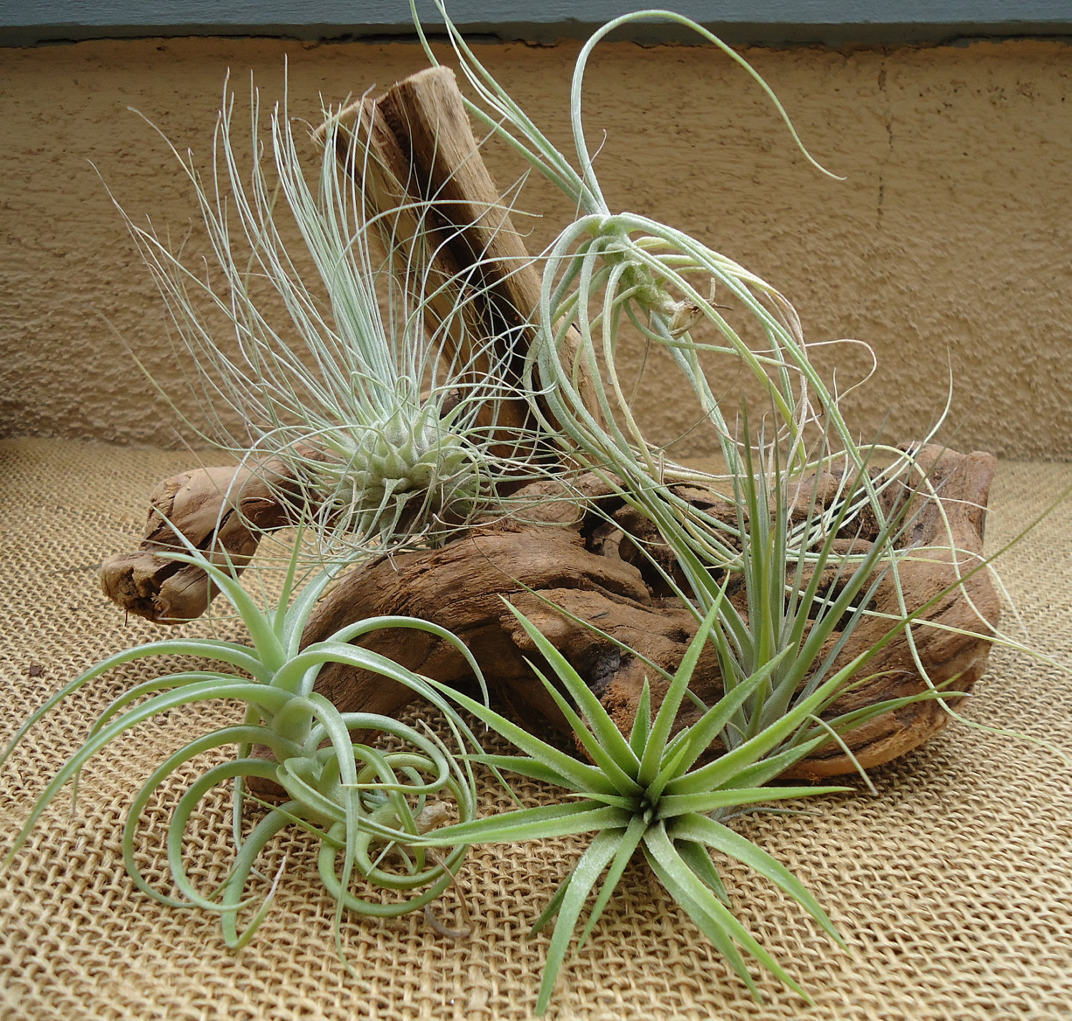 Tillandsia_Plants_Various_W.jpg