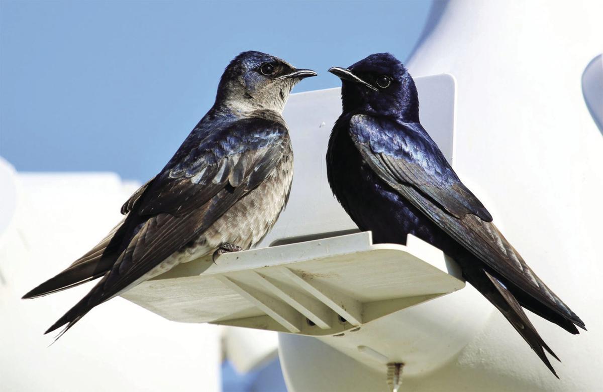Bird_Purple_Martin_Two_w.jpg