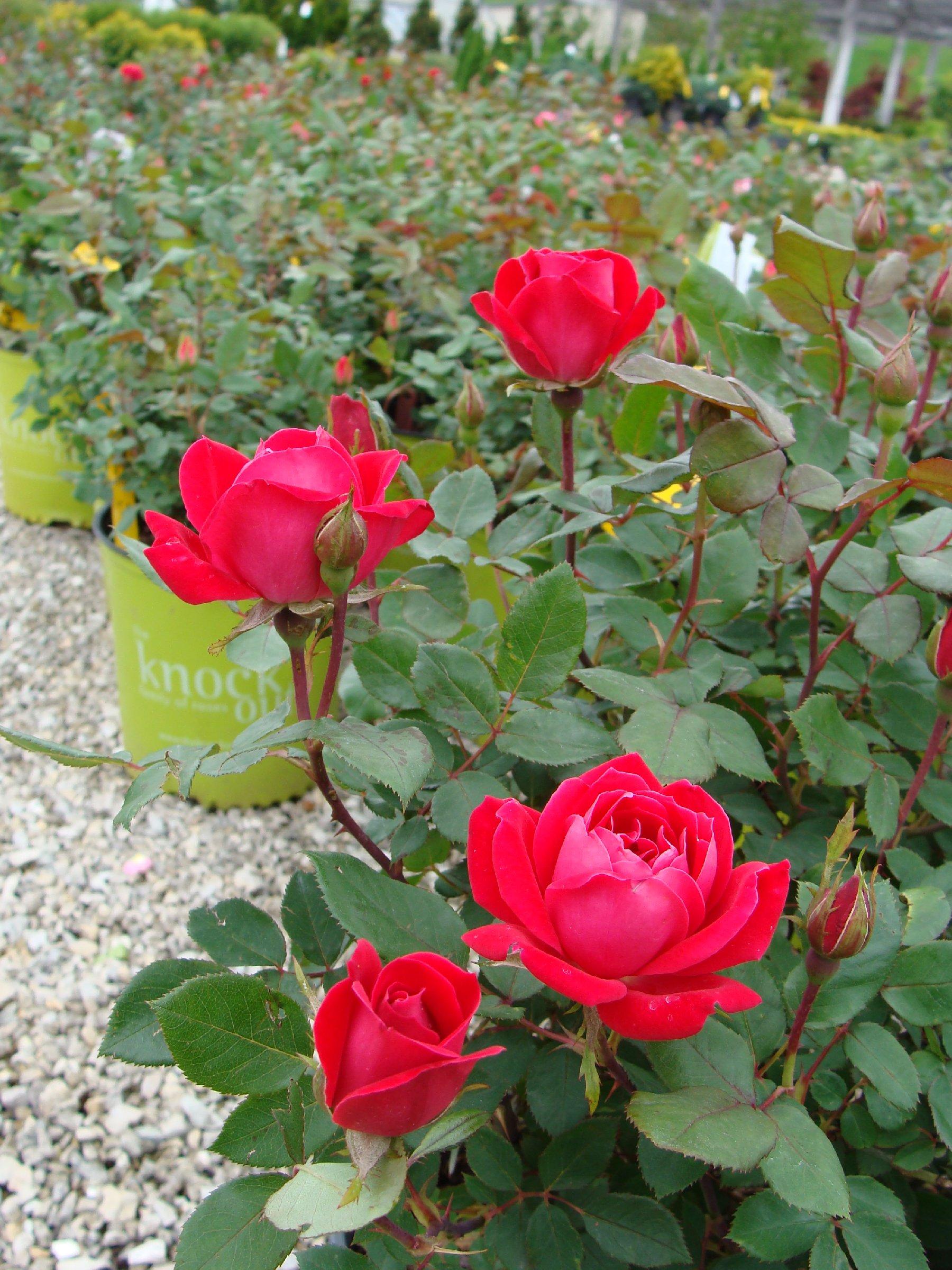 Roses-Plants-Lot4-15s6.jpg