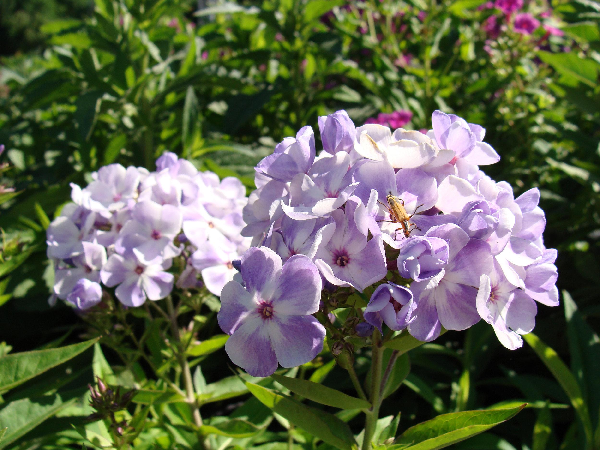 Phlox_Garden_Pur_Wht_6-18.jpg