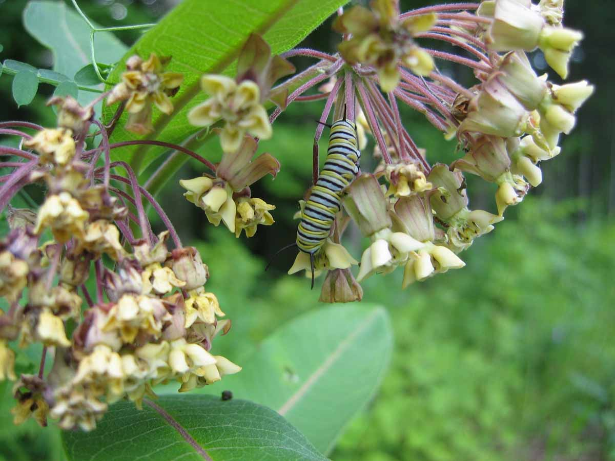 Butterfly_Monarch_Caterpillar_Flowers_w.jpg