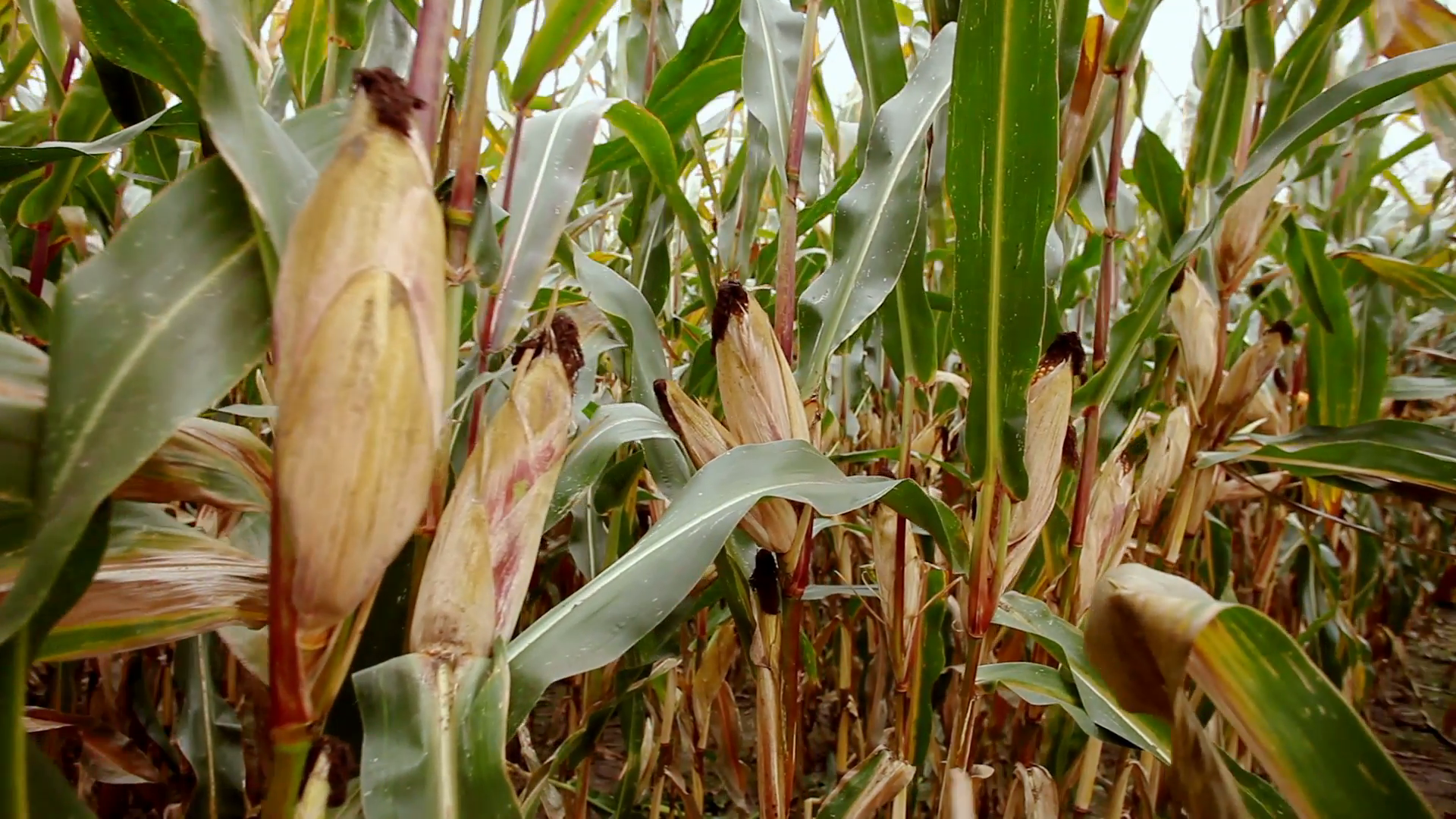 a-field-of-ripe-sweet-corn.png