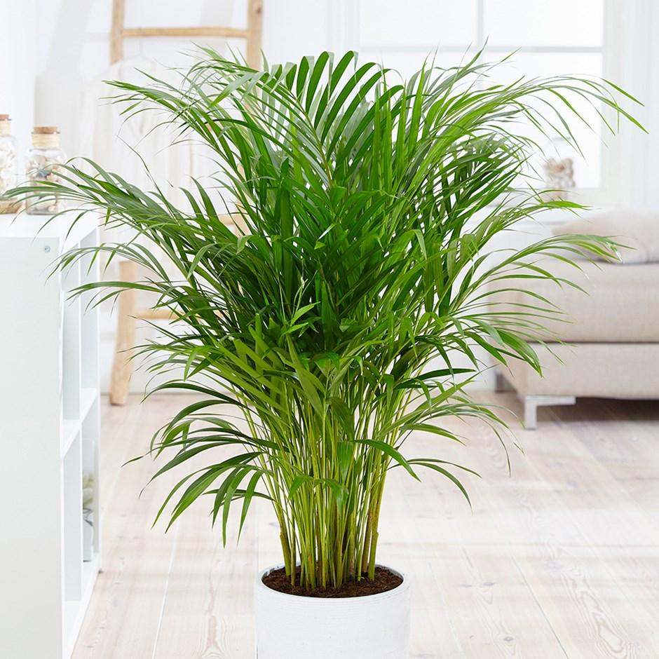 Houseplant_Bamboo_Palm_W.jpg