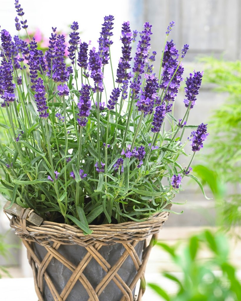 Lavender_potted_W.jpg