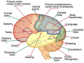 Brain diagram.jpg