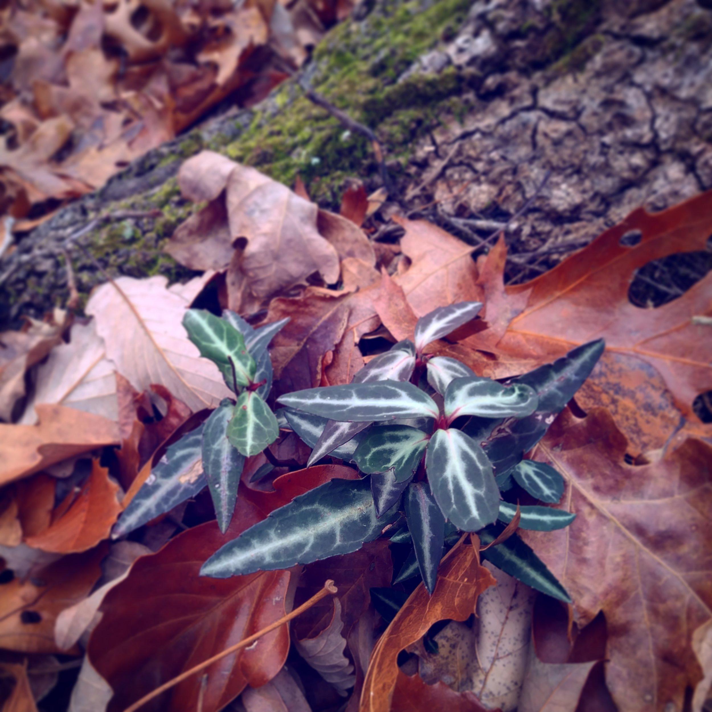 Wintergreen.jpg