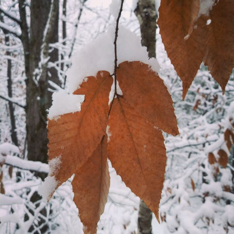 Beech leaf.jpg