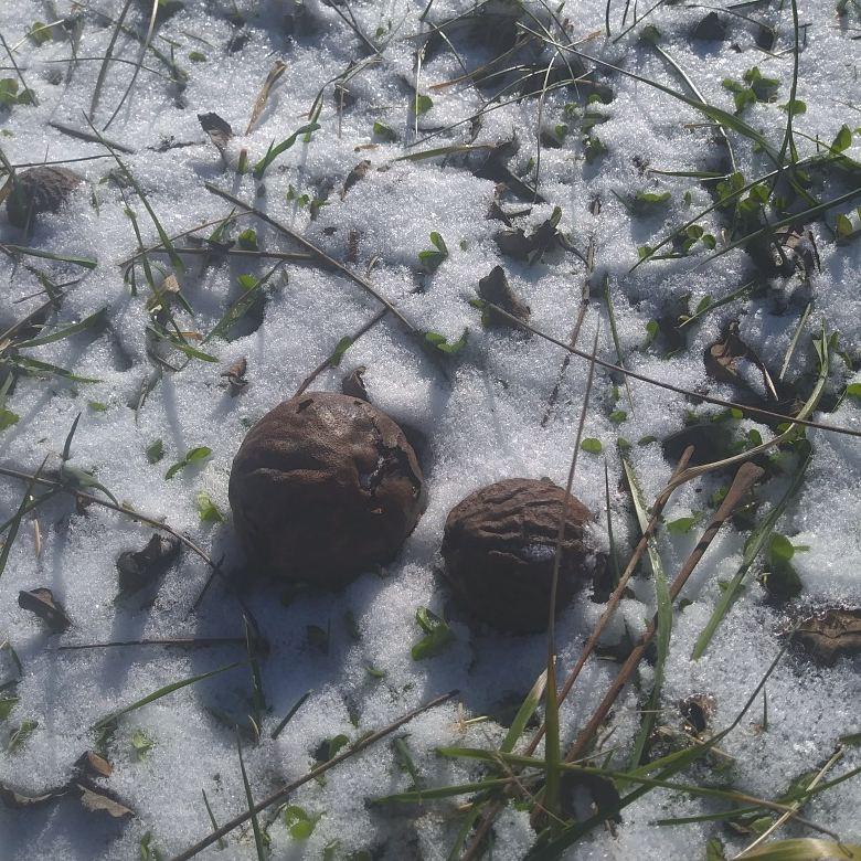 Black walnut 3 snow.jpg