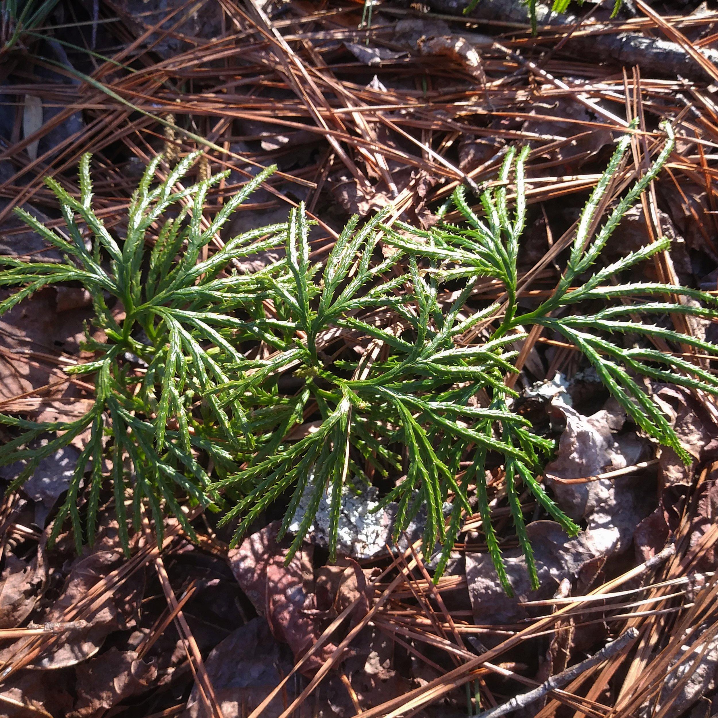 Creeping cedar 1.jpg