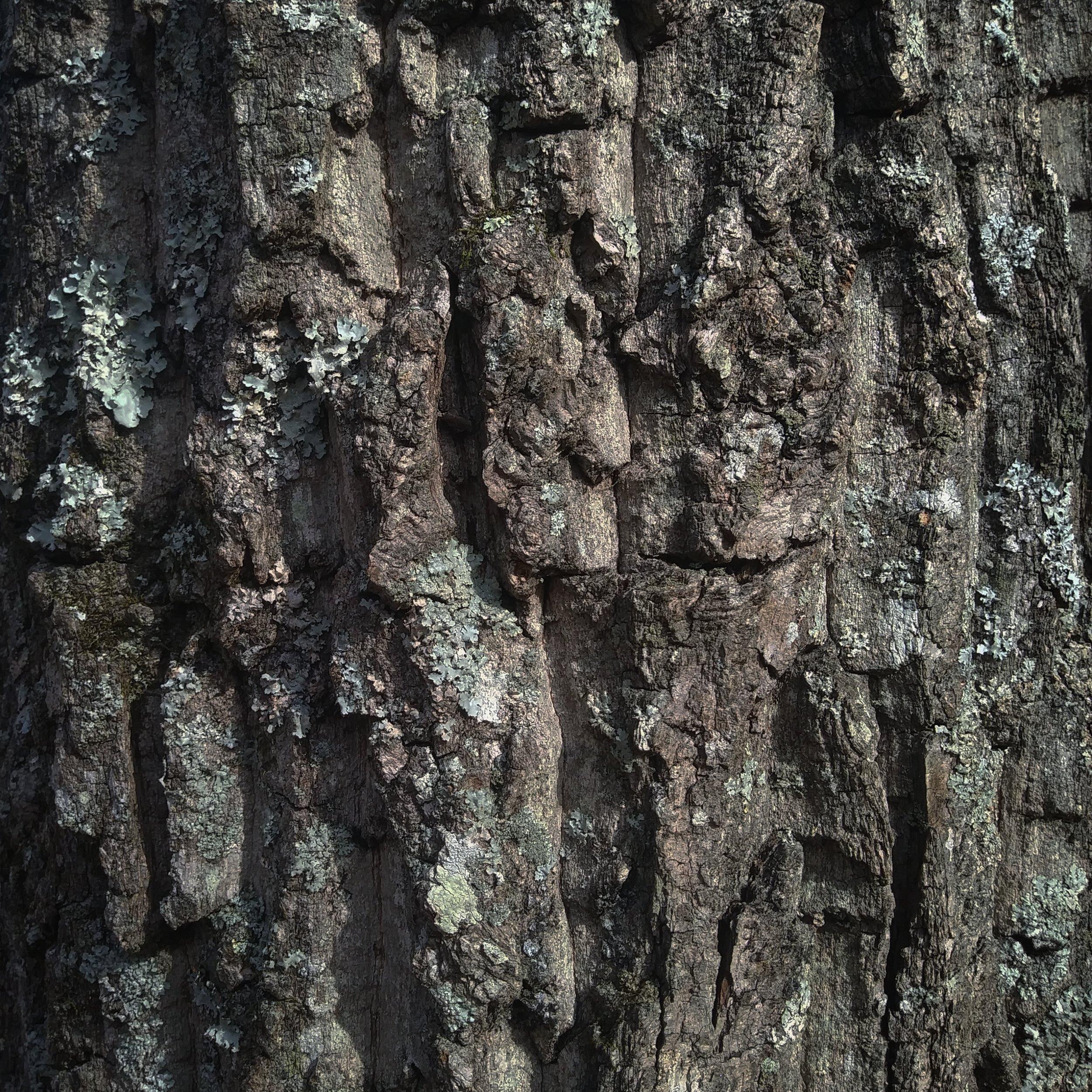 Oak bark.jpg