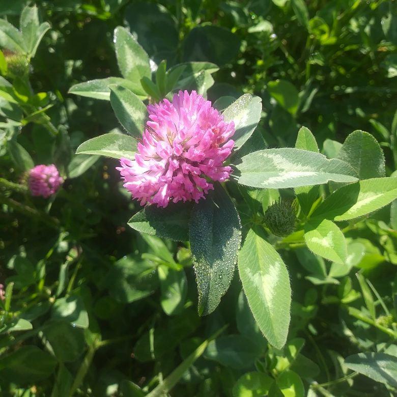 Red clover 1.jpg