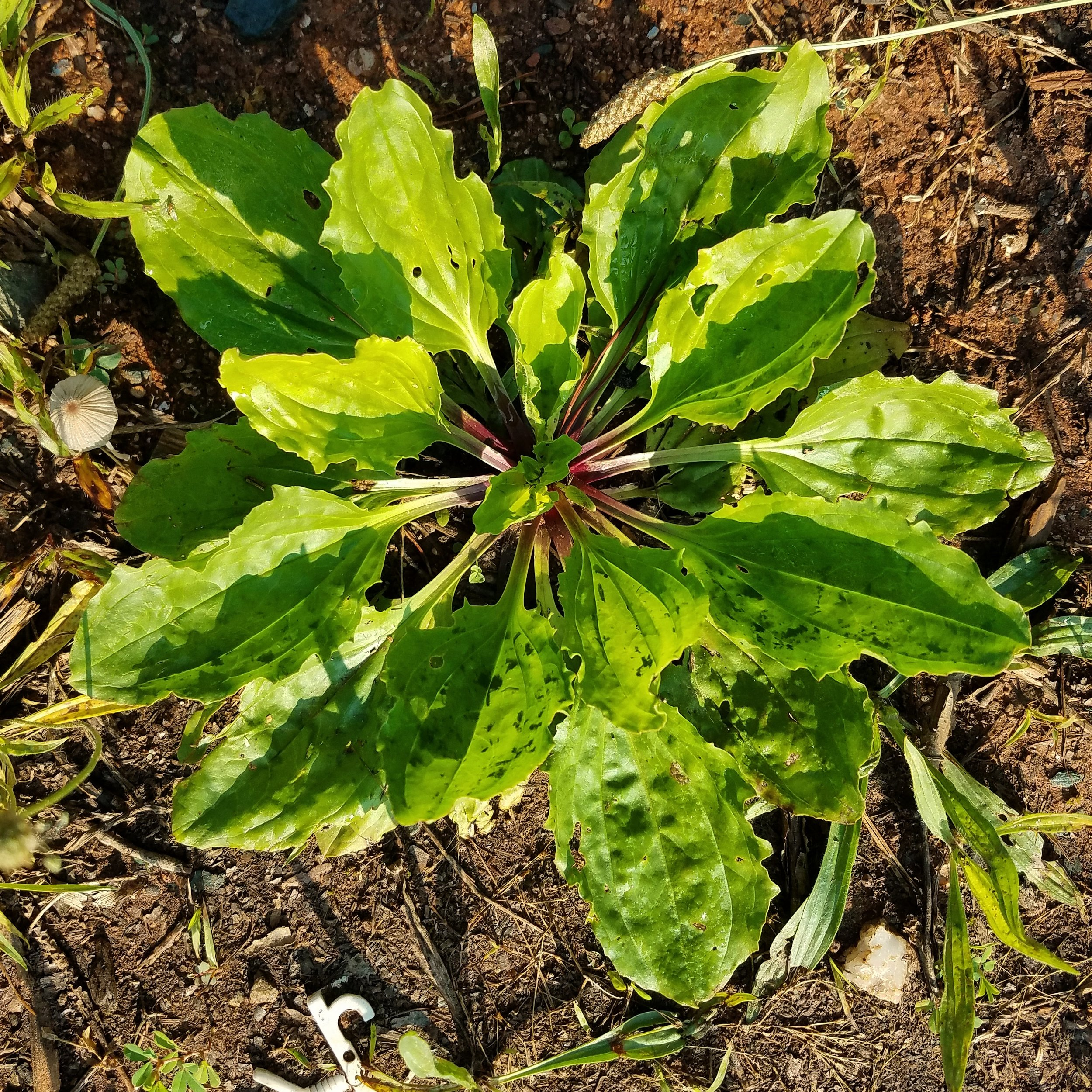 Broadleaf Plantain.jpg