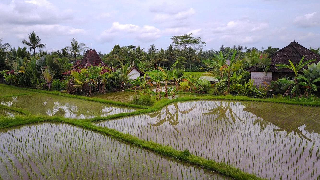 Ubud rice fields.