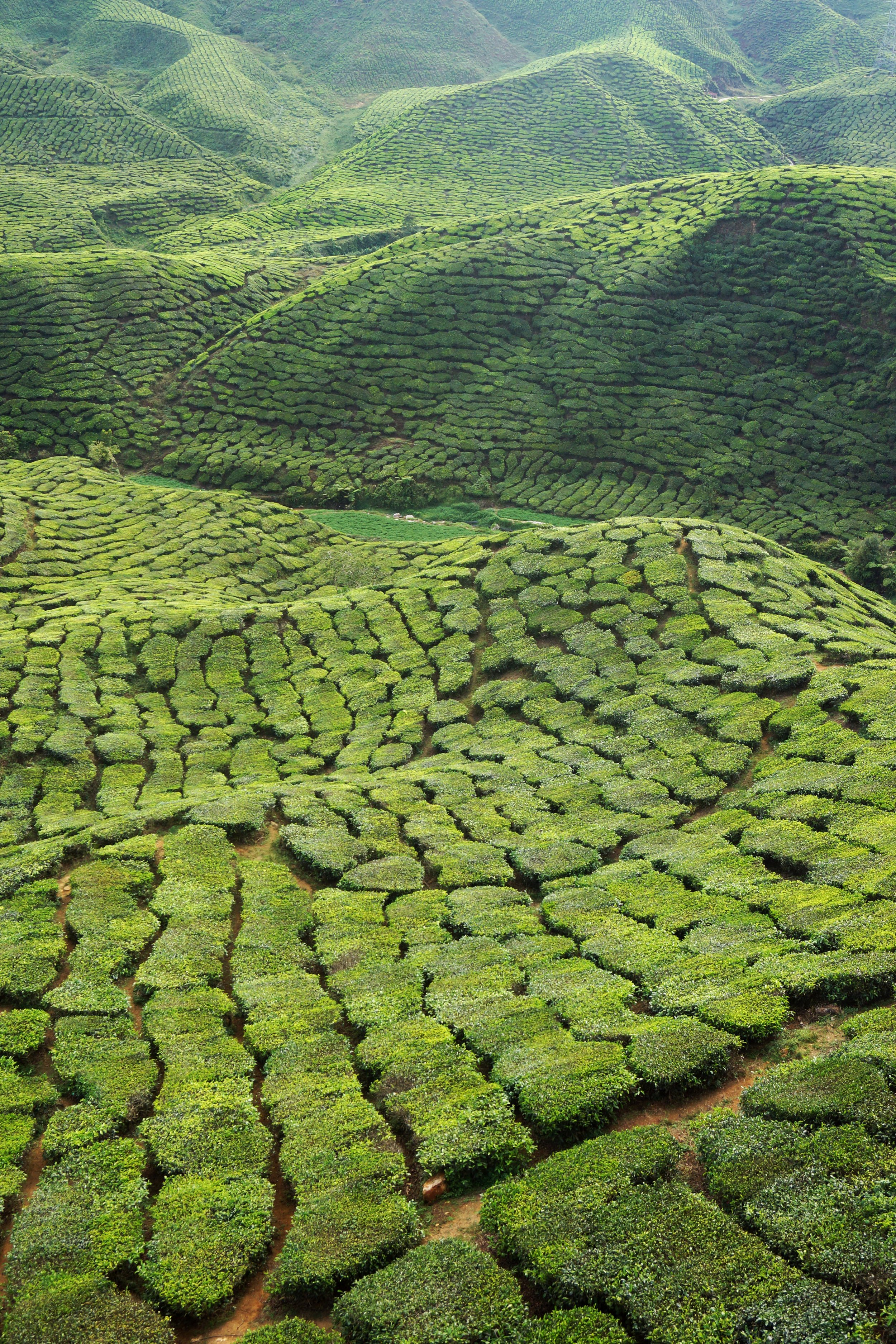 The otherworldly landscapes of the Bahrat Tea Fields, in Malaysia's Cameron Highlands.