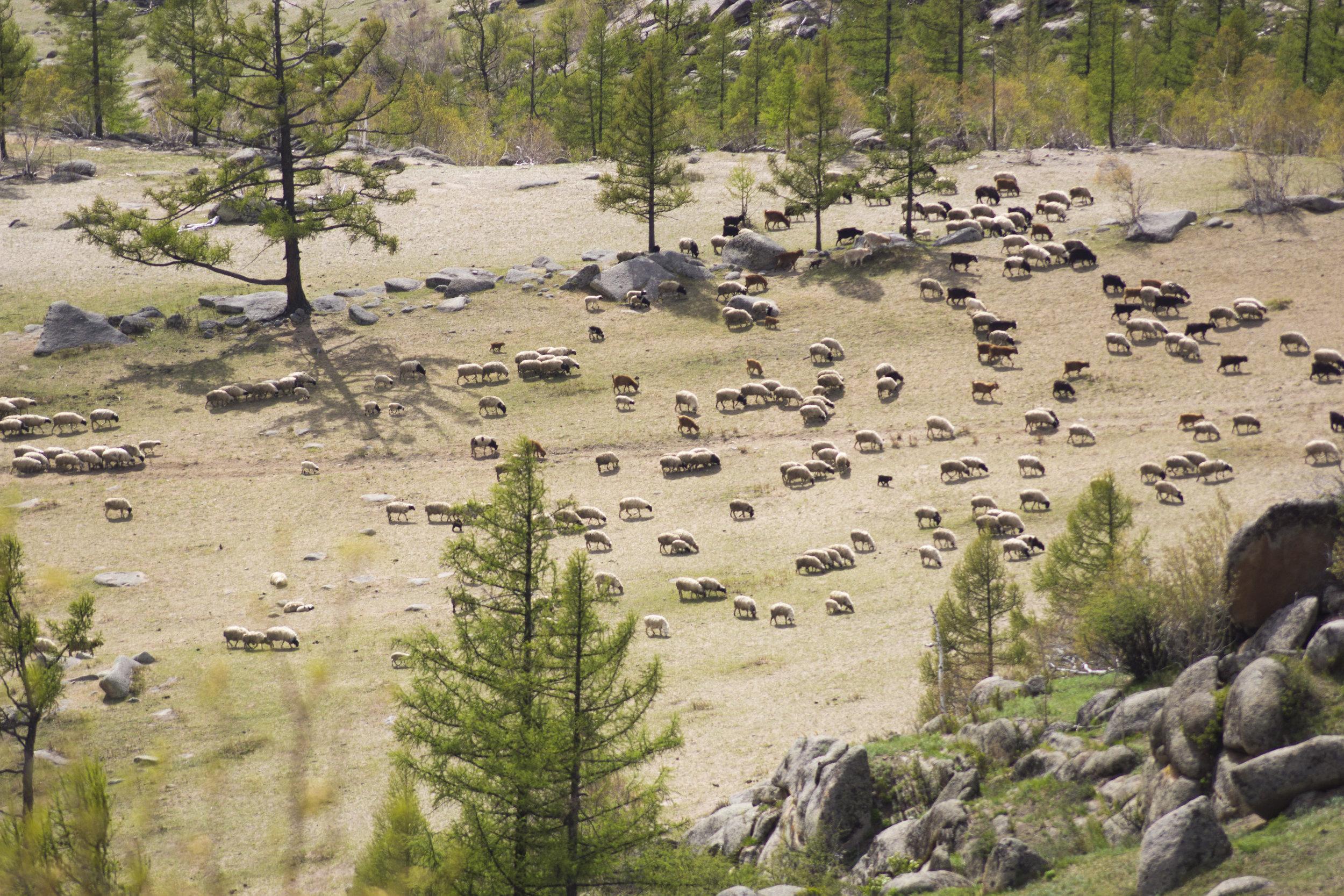 A flock grazes in Arkhangai province, near Tsetserleg.