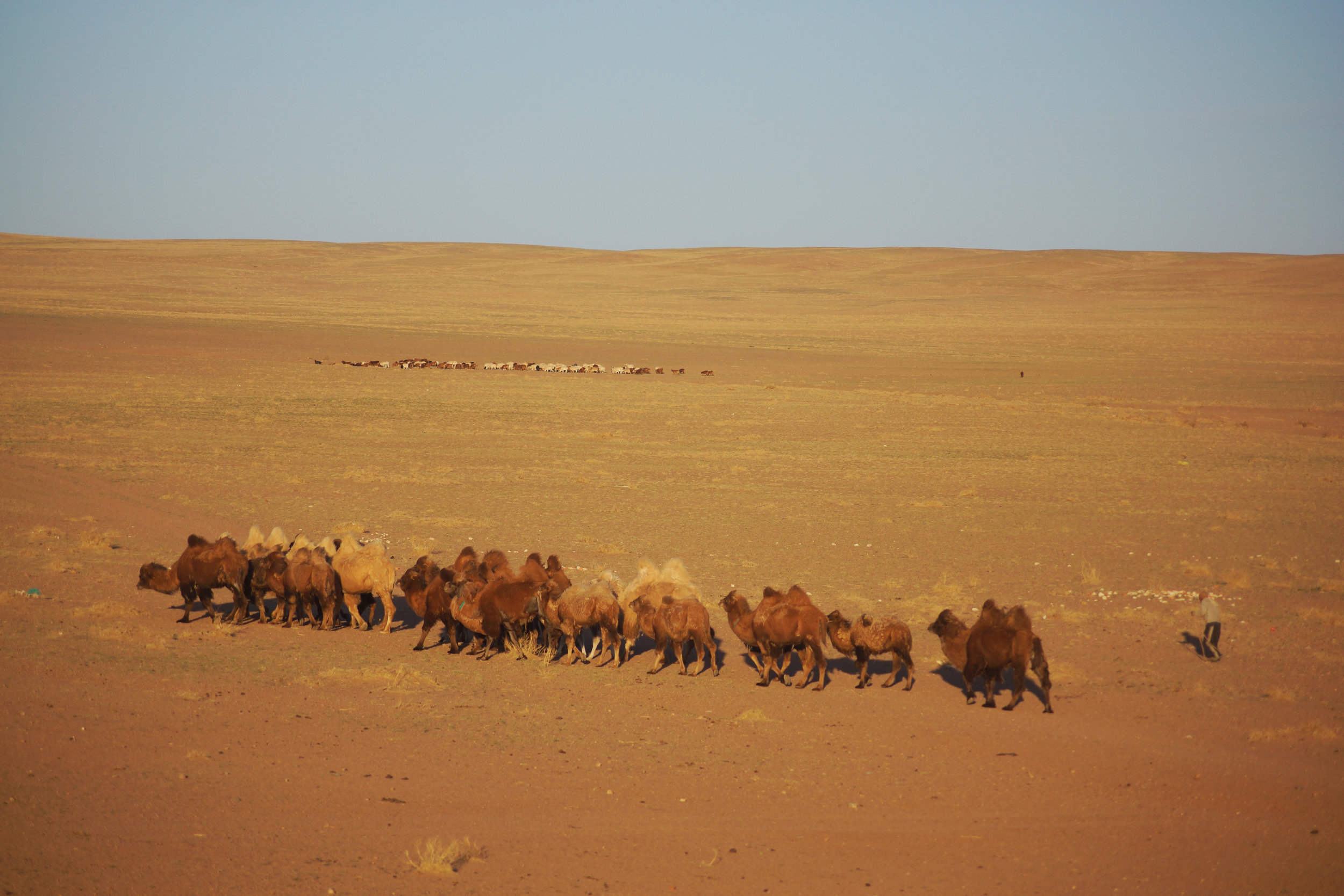 Bactrian camels in the eastern Gobi Desert, followed by their herder.