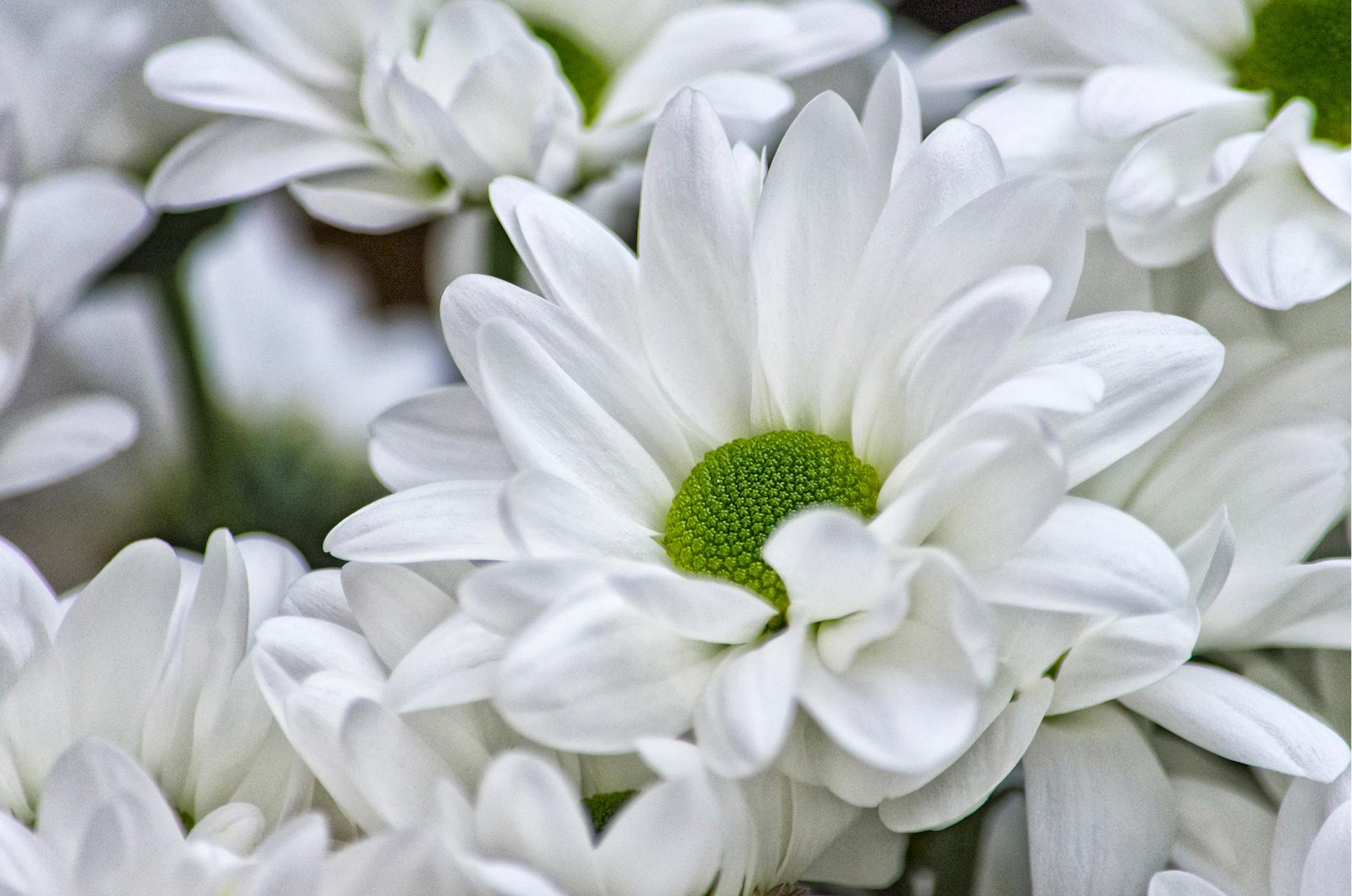 White Chrys_SF.jpg