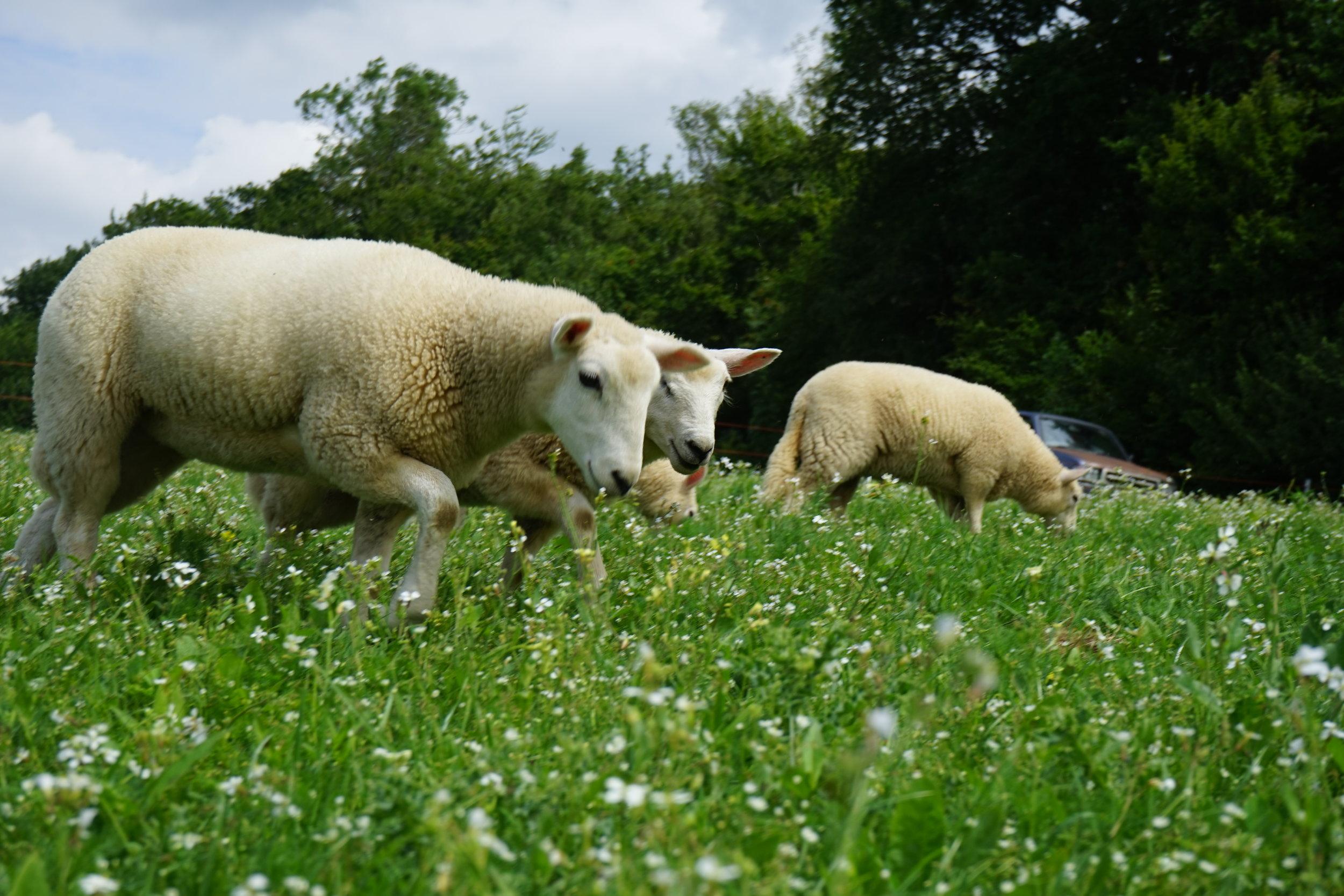 Lambs on fresh grazing