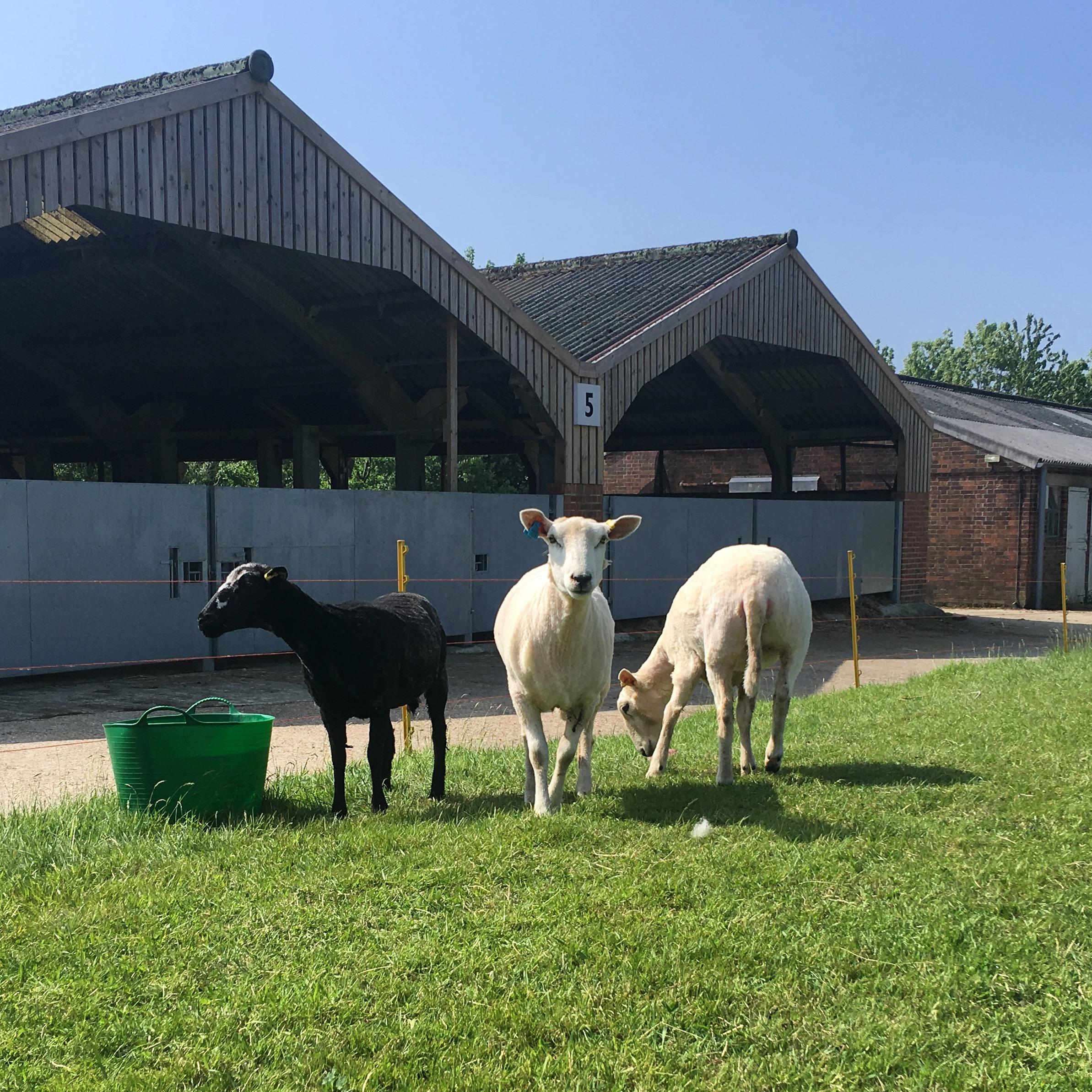 Shearling Lleyn and Jacob cross Lleyn ewes