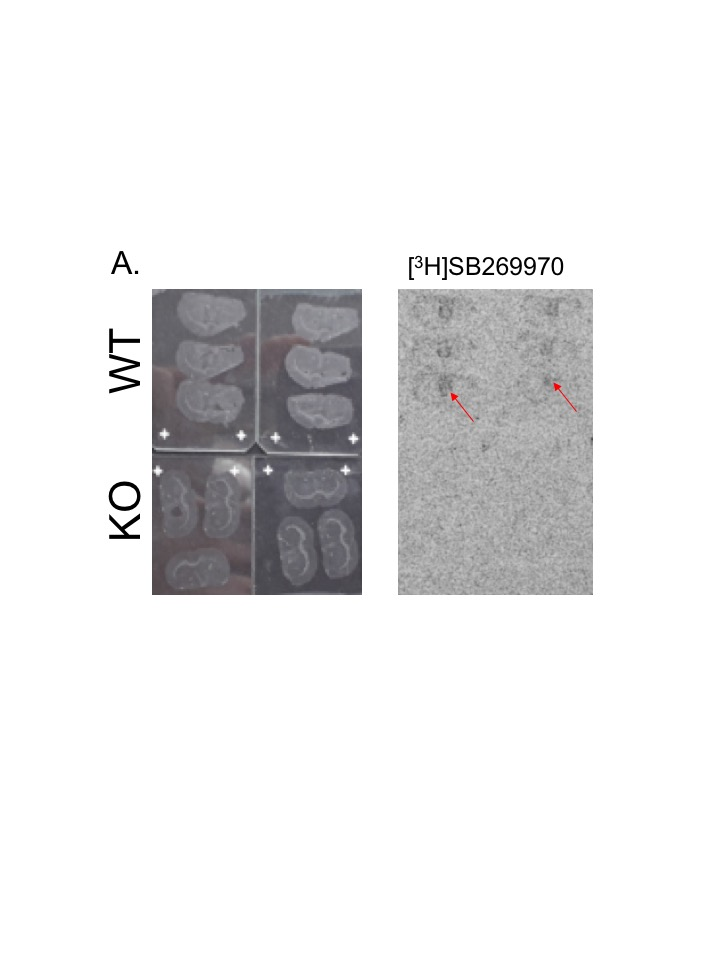 - Binding of the 5-HT7 receptor antagonist SB269970 to the WT but not KO rat brain