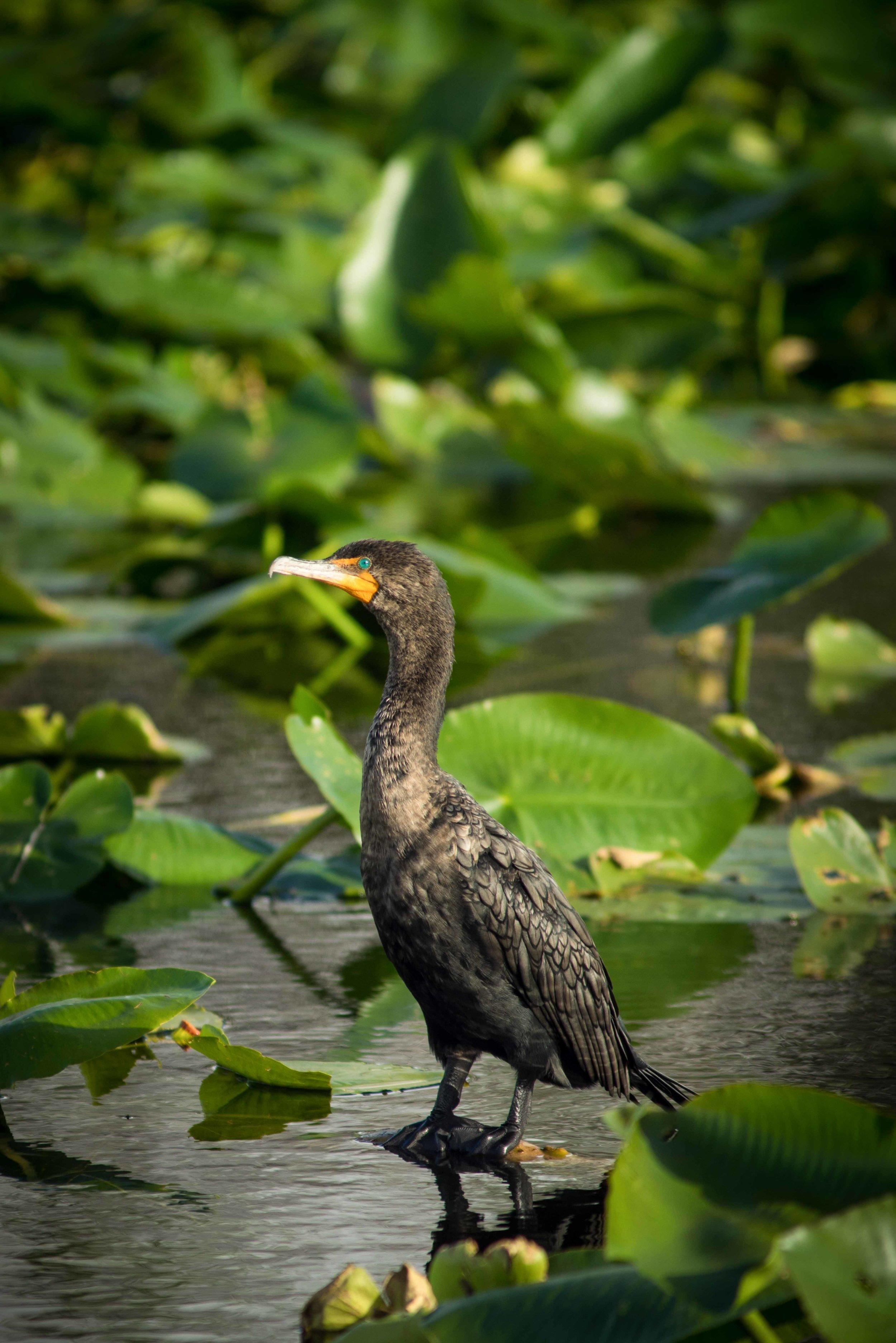 Everglades 2018-2.jpg