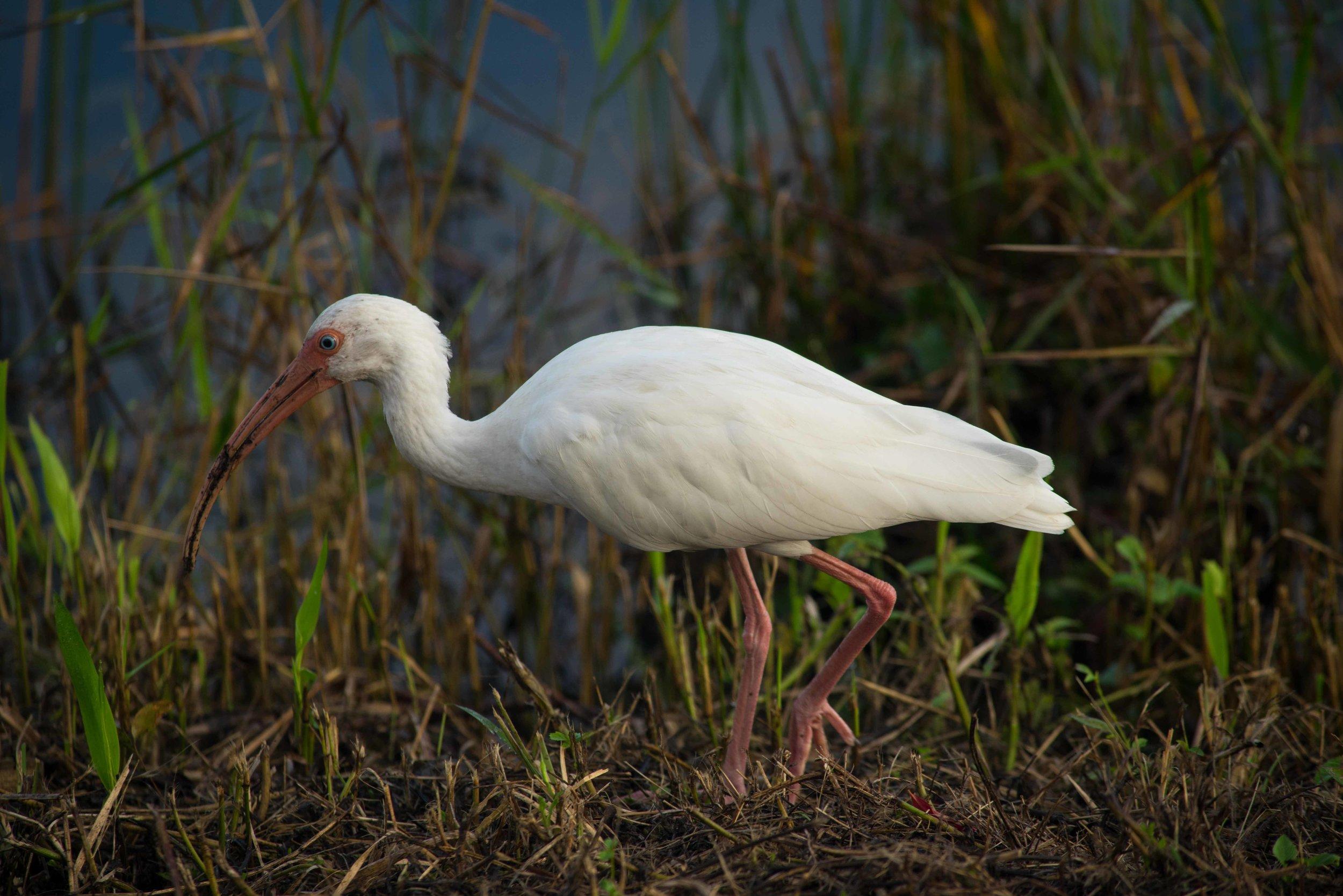 Everglades 2018-17.jpg
