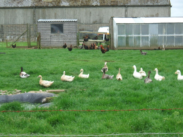 An example of free range chickens and ducks. Not an actual photo from Rawbble's enclosures.