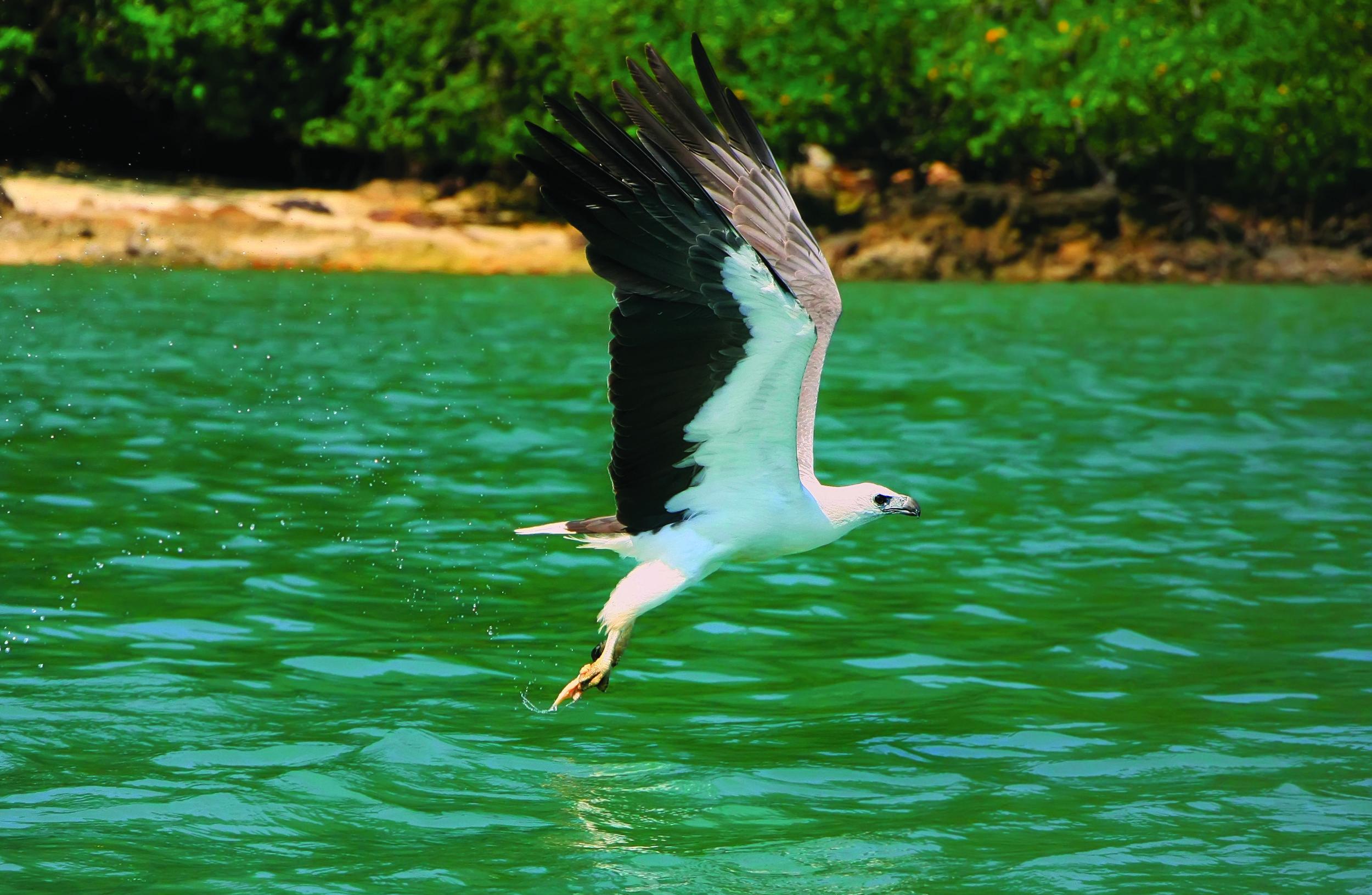 White-bellied Sea-Eagle,  Haliaeetus leucogaster