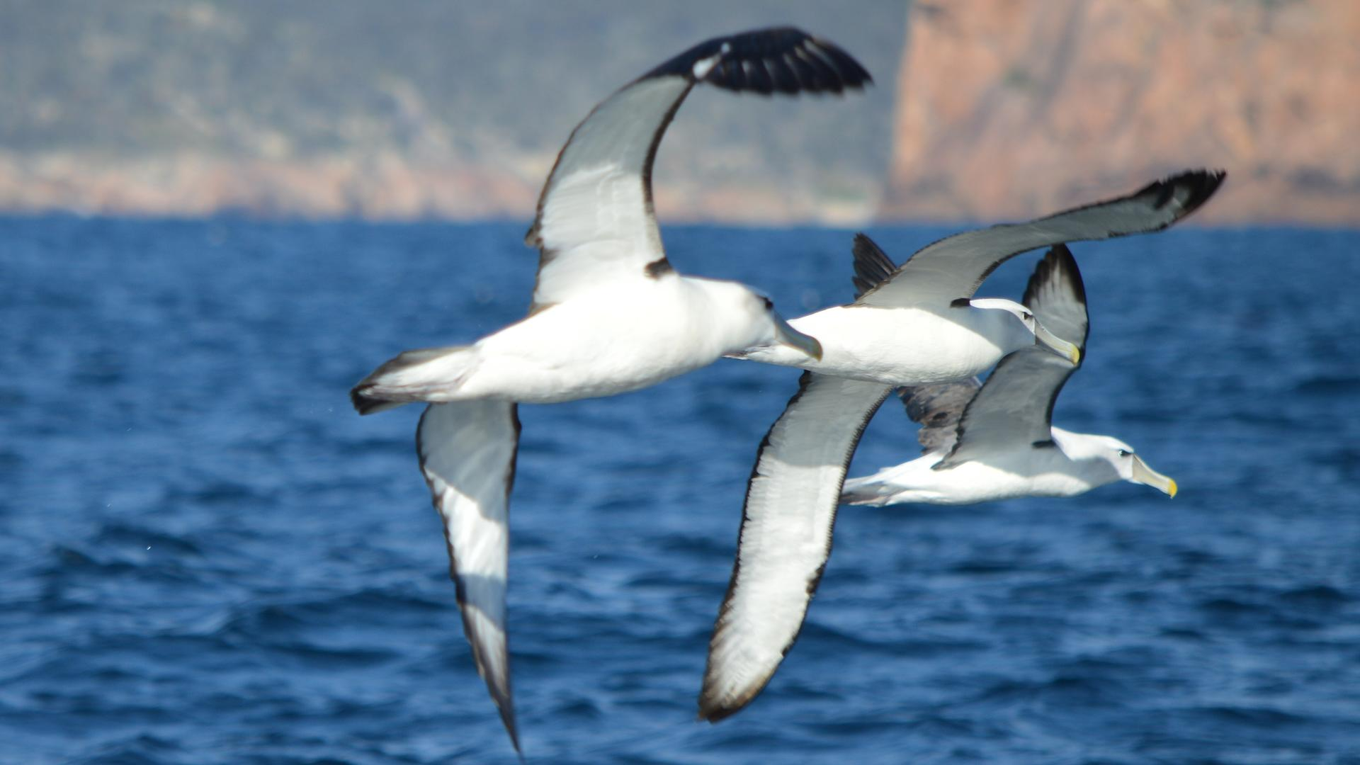 Shy albatross soar off the Freycinet Peninsula. Picture: THOMAS YOUNG