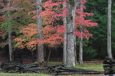 Split rail fence with autumn dogwood, not a big seller