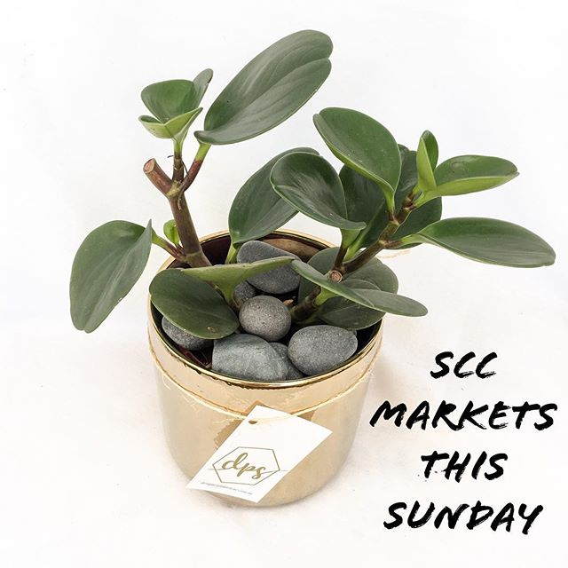 This Sunday = Market Day 👌 #Coolum  Grab A Gift For Someone You Love...Like Yo Self 😉 @sunshinecoastcollectivemarkets . . #plantsdoitbetter #peperomia #plants #indoorplants #sunshinecoast #noosa #interiordesign #plantstyling