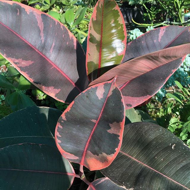 My current fave in the greenhouse. Ficus Elastica Ruby. This gal has everything you want and need in an indoor plant. It's super hardy, it doesn't need much water...and it's PINK! 'Nuff said 🌱👌