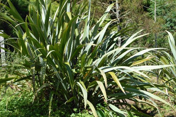 Harakeke, New Zealand Flax