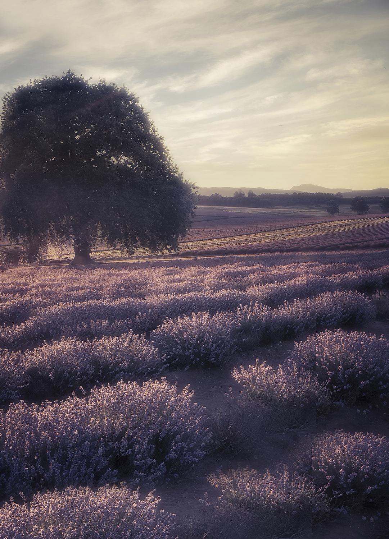 Lavender Tour 1.jpg