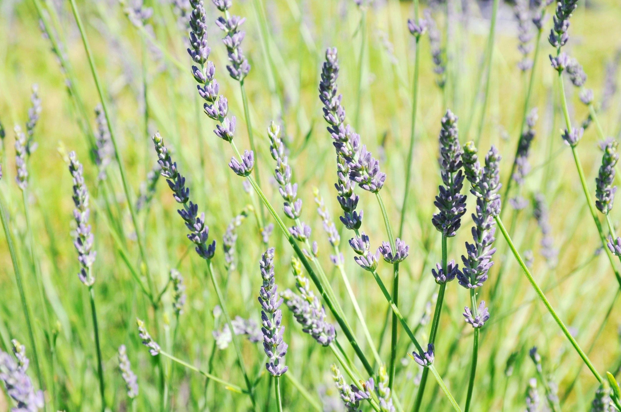 Lavender - Grosso   ebbony&lune