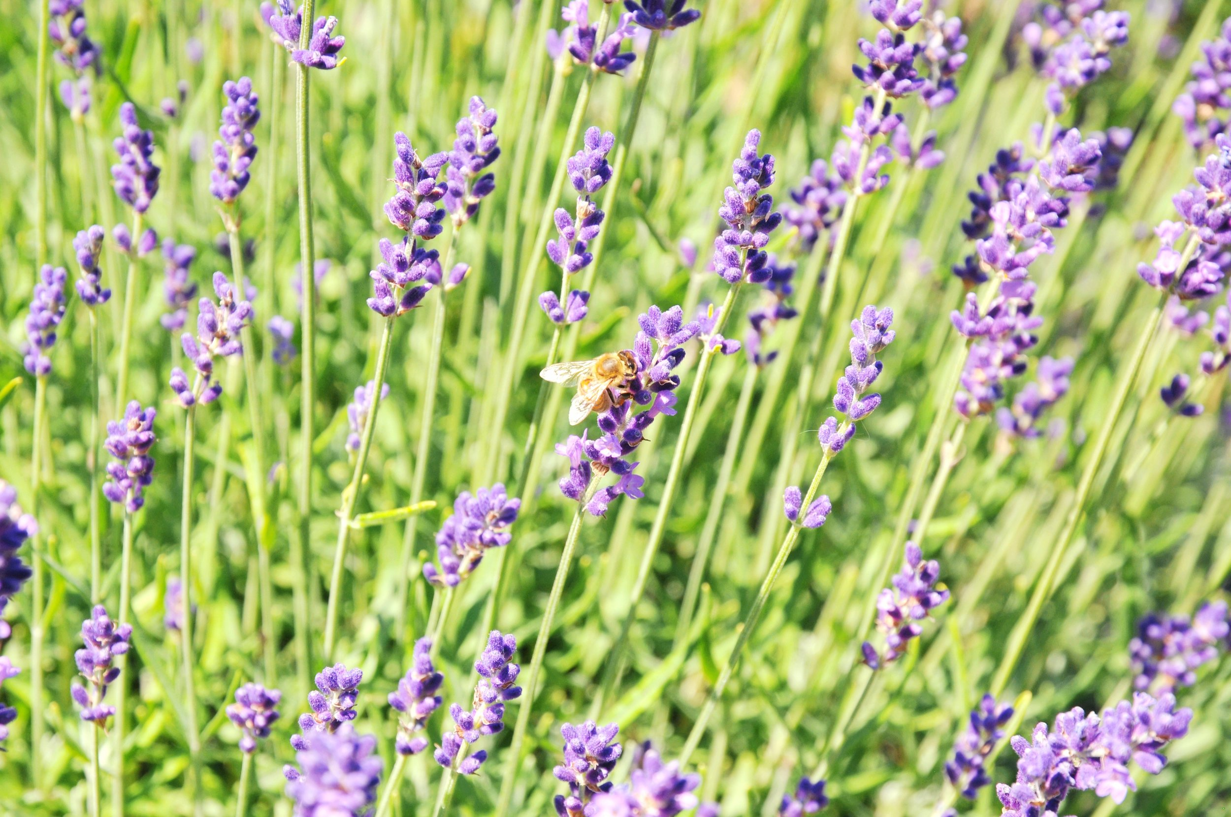 True and pure lavender honey starts with a bee pollinating a lavender plant | ebbony&lune