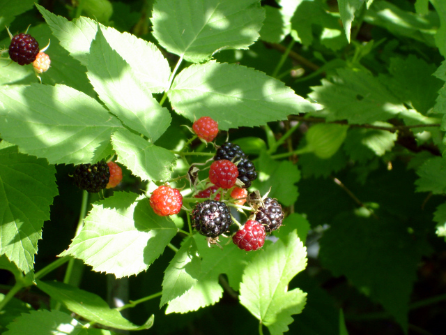 Wild raspberries on my farm.