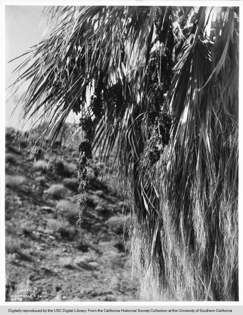 Brief history of palm trees in Southern California, found while searching for desert images.  https://www.kcet.org/shows/lost-la/a-brief-history-of-palm-trees-in-southern-california