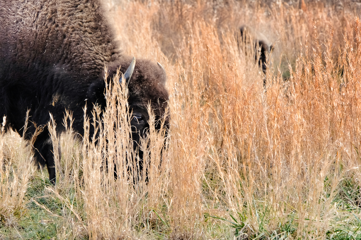 One eye peeking out from among the grasses. (click to enlarge)