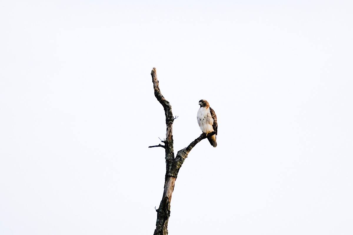 A hawk perched in the top of a dead tree overlooking the Bison and Elk Prairie.