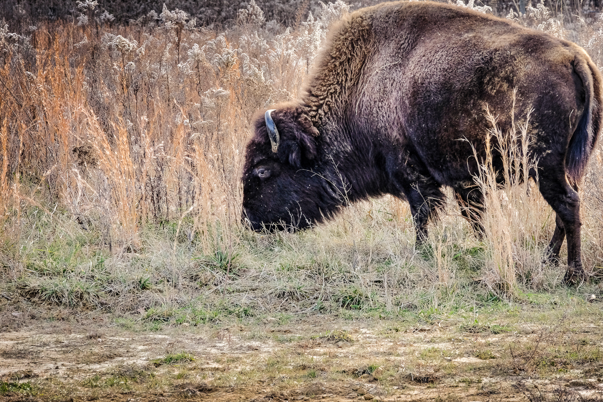 The iconic and unmistakable American bison. One of my favorites from the day. (click to enlarge)