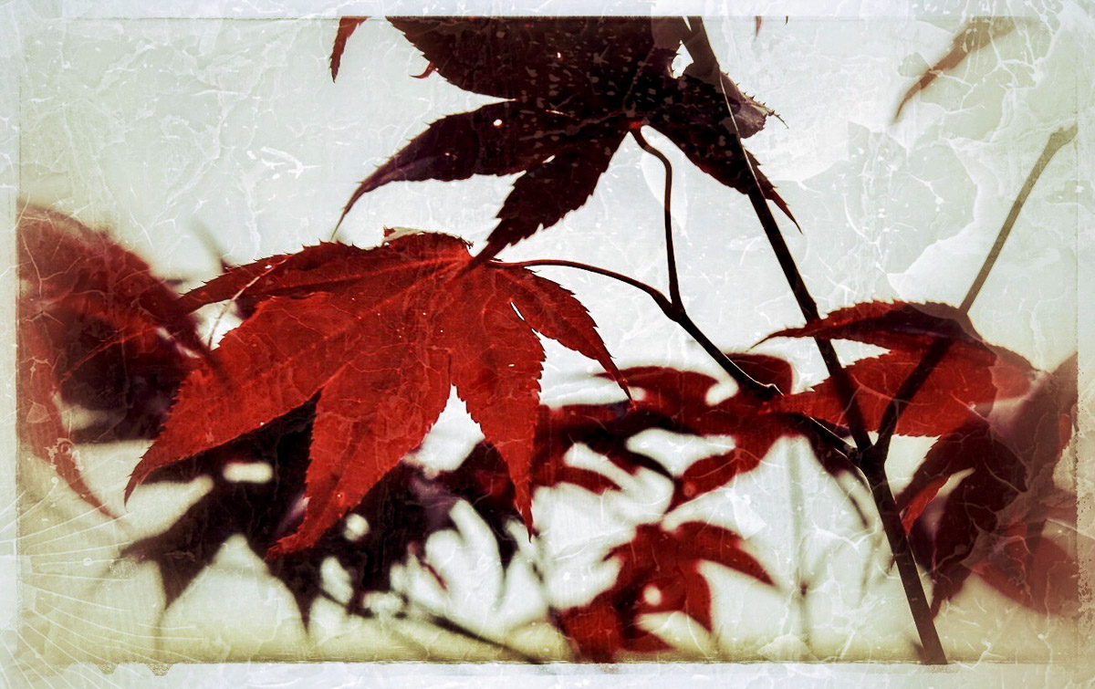 Momiji . (Click to enlarge)