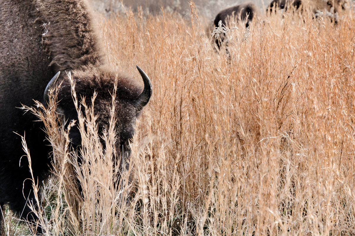 Bison enjoying the autumn grasses.  (click to enlarge)