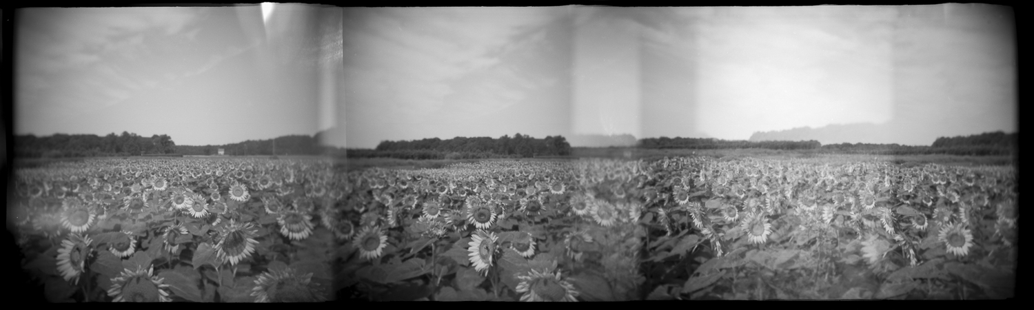 F156 N13 HOLGA PANO sunflower field DUSTED grayscale.jpg