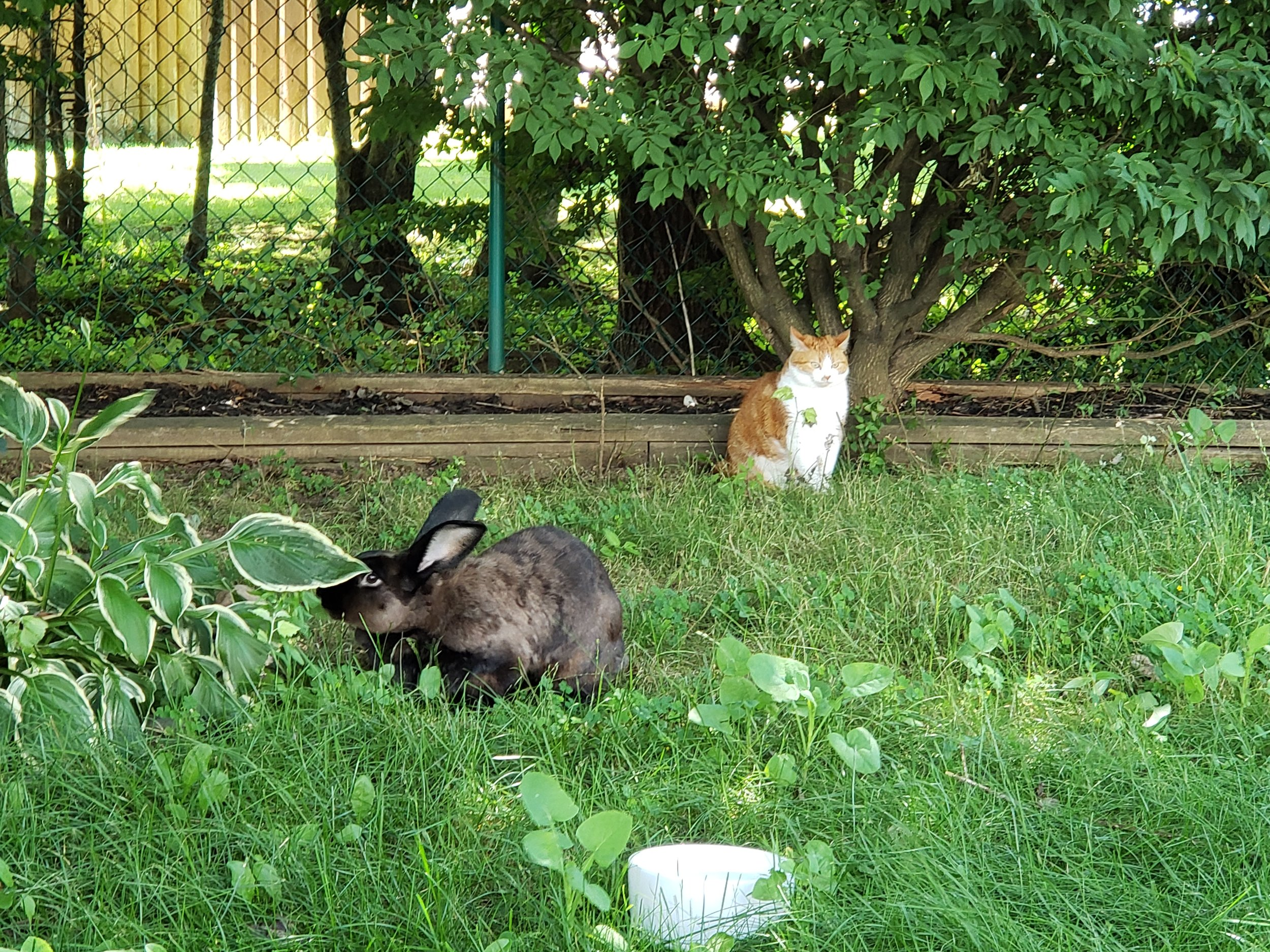 Clover enjoying a hosta and our cat looking so confused!