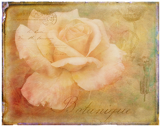 Yellow Rose composite image