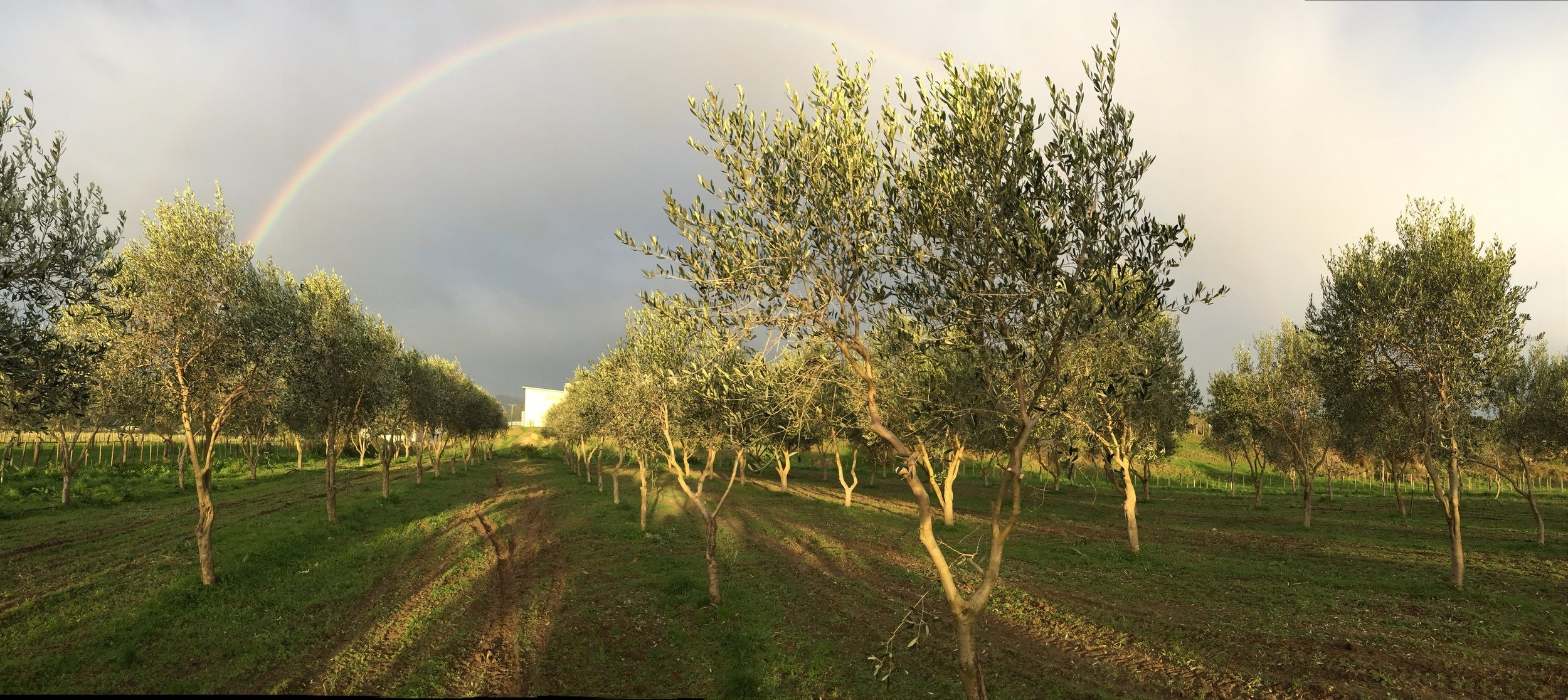 Rainbow over the olive grove, Kuku, 6 July. Image by Emma Febvre-Richards, 2019.