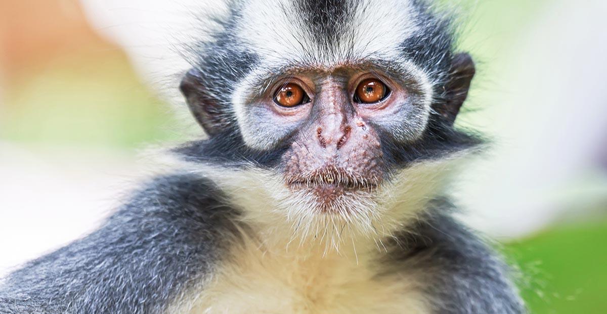 Thomas Leaf Monkey Buki Lawang.jpg